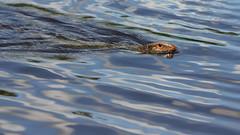 Paraguay Caiman Lizard (Dracaena paraguayensis) (Andyfrog321) Tags: peru andy expedition animals baker wildlife worldchallenge