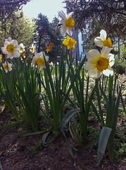 Narcisos (Frankness2008) Tags: espaa flores flora huesca flor movil amarillo celular aragon narciso jaca iphone aragn