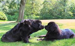 chumkisslei (Chum's mum) Tags: newfoundland blackdog chums leia newf chumley chummy newfie blackpuppy newfy mooncusser nereides misschumley chumsy 9mooldpuppy