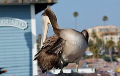 Shy (MORTradio) Tags: ocean bird beach birds wildlife pelican pacificocean oceanside wilderness oceansidepier oceansidebeach mortradio