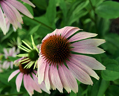 0008225 (To all that visit, Thank you) Tags: plant canada flower garden cone center nb bloom coneflower pedals spiny echinaceapurpurea purplishpink ©allrightsreserved nbphoto