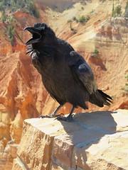 Raven (John Steedman) Tags: usa america utah unitedstates unitedstatesofamerica northamerica brycecanyon raven estadosunidos 美國 corvuscorax norteamérica nordamerika amériquedunord américadelnorte 北アメリカ カリフォルニア州 アメリカ合衆国 加利福尼亚州 北美洲