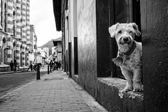 (barro.talvez) Tags: street blackandwhite dog blancoynegro dogs calle colombia bogota streetphotography perro fujifilm streetphoto perros candelaria lacandelaria xt1
