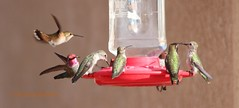 Anna's and rufous/Allen's hummingbirds (Victoria Morrow) Tags: