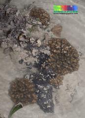 Cauliflower coral (Pocillopora sp.) (wildsingapore) Tags: nature marine singapore underwater wildlife coastal shore intertidal seashore pulau marinelife pocillopora semakau cnidaria wildsingapore scleractinia pocilloporidae