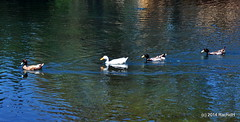 DSC_0330 (rachidH) Tags: sea lake birds geese mediterranean hellas ducks goose greece waterfowl kefalonia canard oiseaux muscovy oie karavomylos rachidh melissany