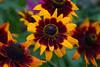 Gaillardias (David S Wilson) Tags: flowers england flower floral zeiss ely fens 2014 flowersplants davidswilson sonyrx10