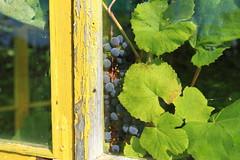 Grapes in JD Green House_2014_08_24_0016 (FarmerJohnn) Tags: summer house green leaves yard canon suomi finland leaf vineyard wine sweet vine greenhouse grape johndeere kes lehti laukaa viini lehdet viinitarha viiniryple kasvihuone ryple viinikynns valkola summersweet kynns zilga grapeplant canoneos7d canonef163528liiusm anttospohja juhanianttonen