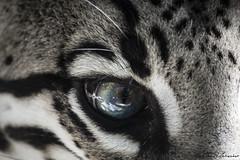 Ocelot (Mattia Petrosino) Tags: parco nature animal feline natura felino animale ocelot novara leopardus pardalis faunistico