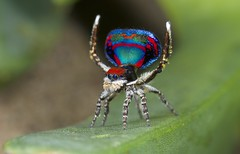 _X8A6660 (5) peacock spider Maratus caeruleus (Jurgen Otto) Tags: