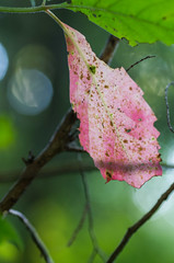 Red (mikemcnary) Tags: red color green leaf kentucky foliage louisville