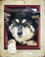 in the frame (sure2talk) Tags: taivas finnishlapphund intheframe nikkor50mmf14gafs nikond7000 thepinnaclehof tppets tphofweek274