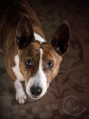 "8.12 Raisin ""Study in Brown"" (jezandia) Tags: dog basenji raisin littledoglaughedportraits 12monthsfordogs14"