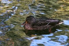 Anatra-Duck (jasmine_ravagli) Tags: summer lake water colors lago duck italia estate acqua colori italie umbria anatra