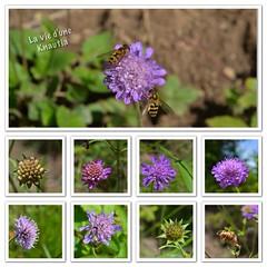 Toutes les étapes d'une vie de Knautia/All the stages of a life of Knautia (Annelise LE BIAN) Tags: rose fleurs vert mauve knautia fleursmauves fleursroses alittlebeauty fleursdeurope