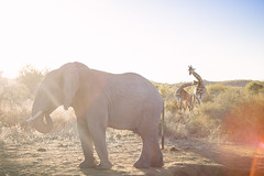 Onlookers (MikeScarduzio) Tags: leica elephant nature animals southafrica safari summicron lensflare giraffe f2 botswana 50 madikwe gamereserve africanbush m240