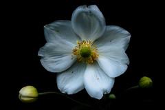 Japanese Anemone. (Net_Ski) Tags: uk flowers white flower nature canon garden japanese whiteflower is flora efs1855mm anemone 365 stm japaneseanemone f3556 netski efs1855mmf3556isstm