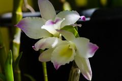 Dendrobium (mcvmjr1971) Tags: macro ex lens nikon orchids flor sigma apo 150 orquidea f28 hsm d7000