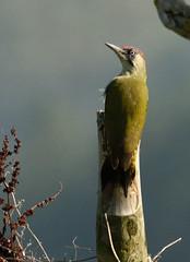 Green Woodpecker 2 (Tim Harris1) Tags: bird norfolk greenwoodpecker nikond7100 nikkorafs80400