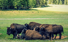 North American Bison (Pete Mecozzi Photography) Tags: arizona nature animals wildlife north meadow grand canyon american rim bison grazing