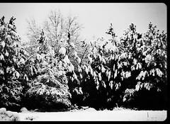 ice cream trees (walkerest8) Tags: trees winter snow alone