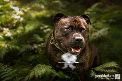 140831_S077_31_EE.jpg (Yves Kleikers Photography) Tags: summer dog weather animal forest landscape seasons belgium action location foam kanoo hauset sunshinecloud portraitposing unserestaffies