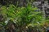 India - Kerala - Munnar - Cardamom Plant (asienman) Tags: india mountains kerala hills teafactory teaplantation munnar teapicker asienmanphotography teaplantagens