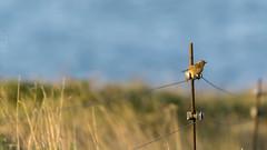 Chas-carras-chas (Ben Deito Photo) Tags: chascocomn tarabillacomn rinlo birds paxaros saxicola ribadeo saxicolatorquatus commonstonechat