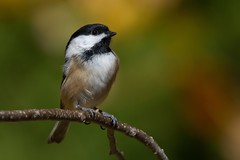 Black-Capped Chickadee (Jesse_in_CT) Tags: nikon autumn blackcappedchickadee