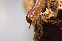 Spirostreptidae sp.1 (Robban-56) Tags: millipede spirostreptidae sp1