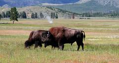The Bison of Wyoming (The Sergeant AGS (A city guy)) Tags: 2010 exploration hikingtrail park county sony sonylens sonysal18135sam slra850 travelformyjob unitedstates walkingtrails walking wyomingyellowstonenationalpark