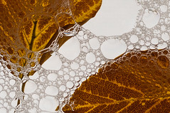 Autumn abstract (Suzanne.Russell) Tags: autumnleaves water bubbles backlighting closeup abstract autumn macromondays backlit