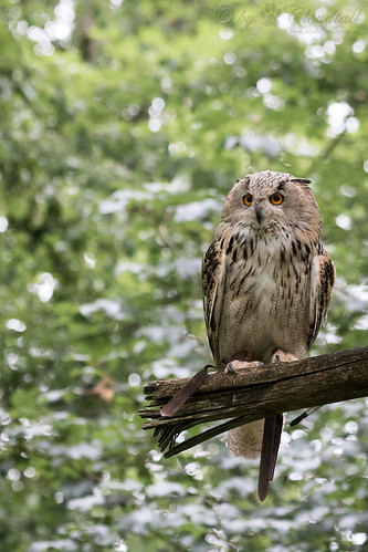 Another eagle owl pic