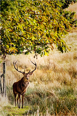 Red Deer Patriarch. (Petefromstaffs) Tags: red reddeer lymepark nationaltrust autumn rutting cheshire canon 60d looking standing elements