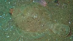 Hornyhead turbot, Pleuronichthys verticalis (aharmer1) Tags: hornyheadturbot pleuronichthysverticalis hornyhead turbot pleuronichthys verticalis