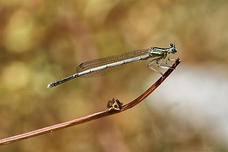 Damselfly - Platycnemis pennipes - Agrion à larges pattes ♂ immature