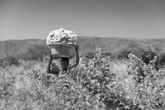 Zambia (javiermorales10) Tags: balckandwhite zambia africa algodn cotton cottongathering recogidaalgodn