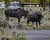 """You Want A Piece Of Me?!!!"" (Hawg Wild Photography) Tags: moose nature wildlife animal animals jacksonholewyoming grand teton tetons national park terrygreen hawg wild photography nikon nikond4s 70200mm vr"
