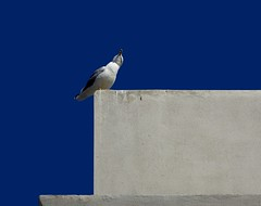 il cielo era blu (fotomie2009 OFF) Tags: gabbiano seagull blue sky bird uccello fauna animal