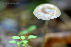 fungi sunday -p4d- 085 (photos4dreams) Tags: fungisundayp4d spaziergang walk feld wald wiese forest trees bäume photos4dreams p4d photos4dreamz pilz pilze fungi fungus mushroom mushrooms
