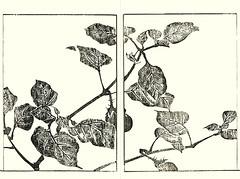 Eggplant (Japanese Flower and Bird Art) Tags: flower eggplant solanum melongena solanaceae soken yamaguchi maruyama shijo woodblock picture book japan japanese art readercollection