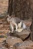 Abert Squirrel-3005 (rob-the-org) Tags: flagstaffaz lowellobservatory abertsquirrel nature f71 250mm 1400sec iso4000 cropped noflash