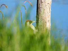 a snack for the green woodpecker (quarzonero ...Aldo A...) Tags: greenwoodpecker bird nature grass worm insect coth coth5 sunrays5