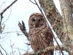 Strix varia (barred owl) (nicholasrmassey) Tags: strix varia barred owl bird raptor fauna predator