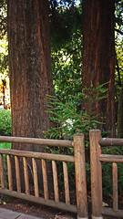 Sequoias (Jusotil_1943) Tags: 16112016a arboles trees sequoia fnces madera marron oviedo