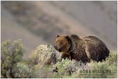 Grizzly Bear  YNP 050214-2641-W.jpg (RobsWildlife.com  TheVestGuy.com) Tags: robswildlife bear grizzly robswildlifecom bears yellowstonenationalpark 050214 grizzlybear 2014robswildlifecom