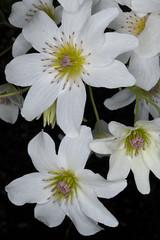 Bush Clematis (Clematis paniculata) (Nga Manu Images NZ) Tags: clematis clematispaniculata fscientificnames flowering plants plantsandfungi