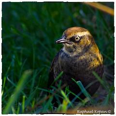 Rusty Blackbird and a grasshopper (RKop) Tags: armlederpark cincinnati ohio raphaelkopanphotography rustyblackbird a77mk2 600mmf4apogminolta sonydslr sony
