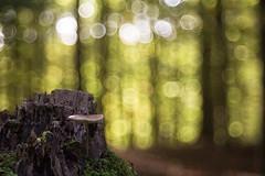 Herbstzeit ist Pilzzeit (Jrgenshaus) Tags: deutschland rheinland siegburg kaldauen wald herbst bokeh meyergrlitztrioplan100mm128 pilz mauneller fokus offenblende