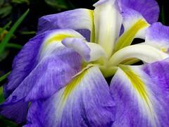 Iris bleu double... (01937100-Thanks for your 2 MILLIONS visits.) Tags: bleu iris jardin france double